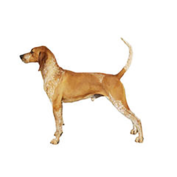 american-english-coonhound.jpg