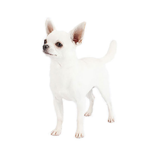 Chihuahua (Smooth Coat)