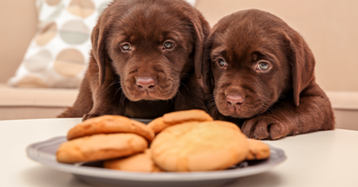 Can Dogs Eat Chocolate? | Purina® Canada