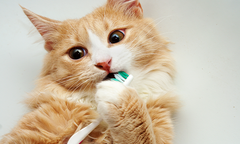 Orange cat playing with a toothbrush