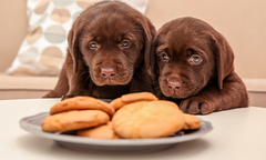 Chocolate Labrador Retriever puppies near plate with cookies indoors
