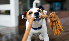 Brown and white dog playing with rope toy