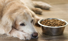 Golden retriever laying beside a bowl filled with kibble