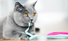 Grey cat with brown eyes playing with blue and pink ribbon