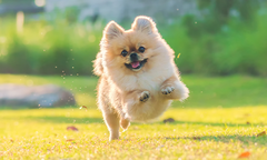 Pomeranian running on a field