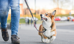 Corgi on a walk
