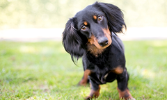 Long-haired daschund looking at camera with head tilted