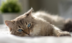 White cat with blue eyes is lying on a bed and looking at the camera