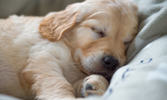 Sleeping Golden Retriever puppy, lying on a cozy blanket