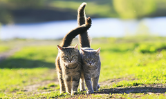 Two tabby kittens walking with their tails entwined in a meadow