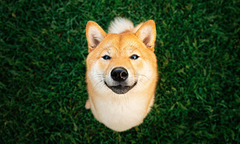 Shiba Inu sitting on grass looking at the camera