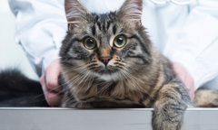 Tabby cat with veterinarian standing behind