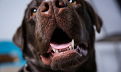Brown dog panting with tongue and bottom set of teeth showing