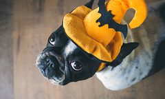 French bulldog wearing orange witch hat