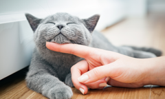 Grey cat being petted underneath the chin