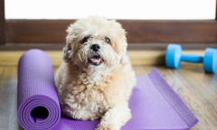 Light brown dog sitting on yoga mat