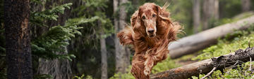 Long-haired brown dog running outdoors