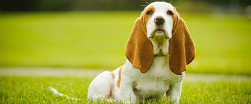 Basset hound puppy sitting on grass