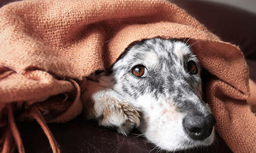 A grey and white dog hiding under a blanket
