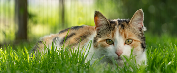 Black, orange and white cat laying outside in grass