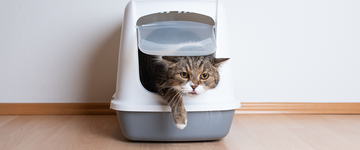 Tabby british shorthair cat leaving hooded cat litter box in front of white wall