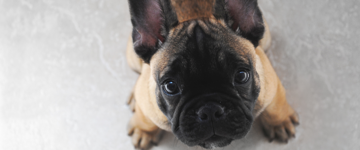 Tan French Bulldog puppy