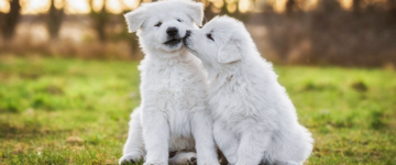 Two White Swiss Shepherd Puppies Sitting Outside
