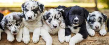 Five black and white puppies sitting together