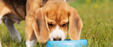 Beagle puppy eating from blue food bowl