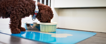 Brown, curly-haired puppy eating from green food bowl